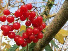 Калина красная выращивание и уход